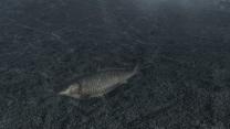Мирная рыба в Морровинде